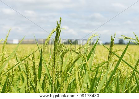 Detail Of A Rice Field In Italy