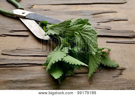 Leaves of lemon balm with scissors on wooden background