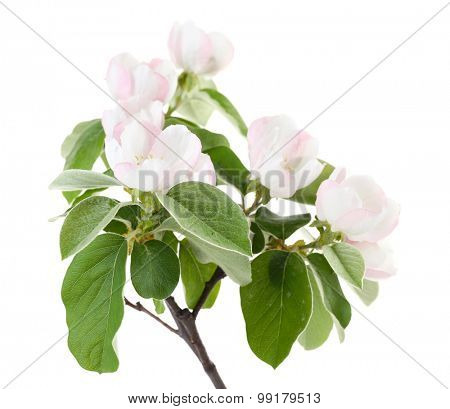 Apple tree branch with blossoms, isolated on white