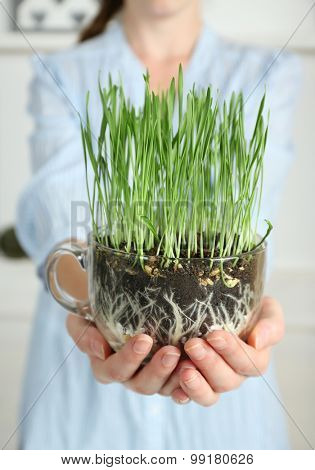 Woman holding transparent pot with fresh green grass