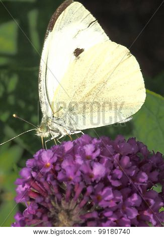 Small White Butterfly (Pieridae)
