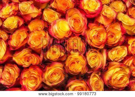 Beauty Orange Rose Background