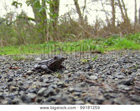 Red-legged Frog on a Path