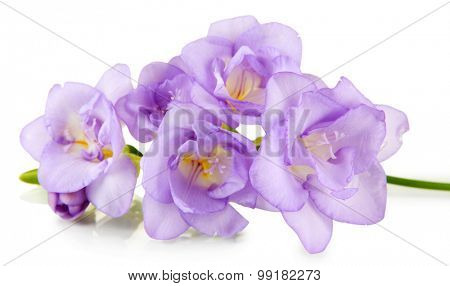Beautiful freesia, isolated on white