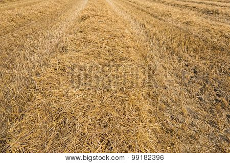 Stubble Field After The Harvesting Threshing Of The Wheat