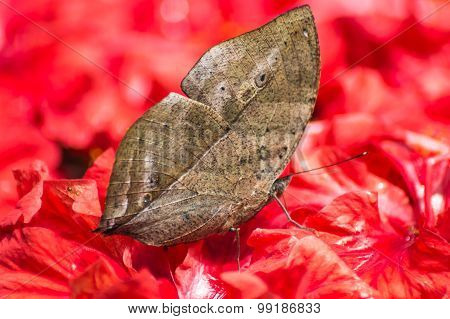 butterfly mimics a leaf