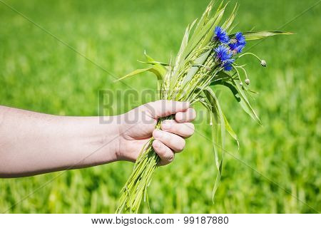 Cornflower with grain ears in the hand of