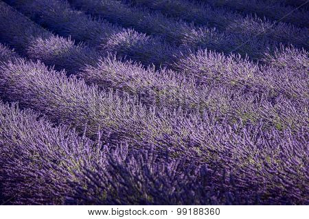Lavender Field And Ray Of Light. Provence, France