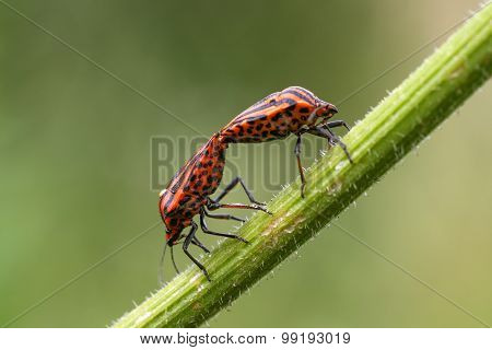 Two Red And Black Bug On A Blade