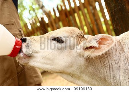 white calf drink milk from nipple bollte