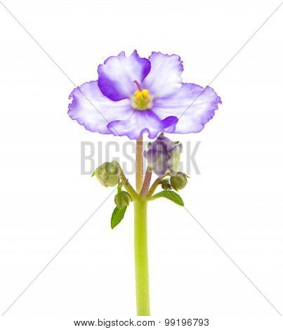 Variegated African Violet