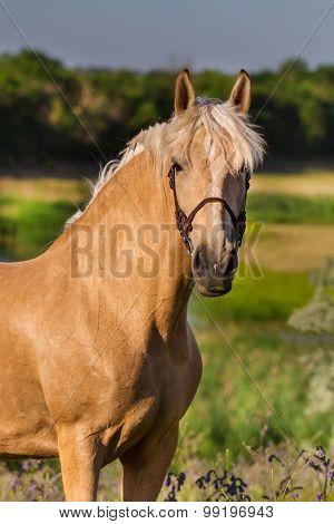 Cream horse