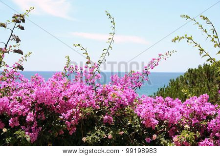 Blossom bougainvilleas tree with a sea and sky view backdrop