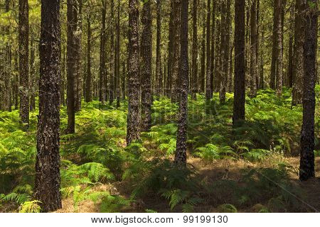 Inland Gran Canaria, Canary Islands Pine Tree Forest