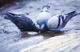 picture of pigeon  - pigeon standing on a water fountain - JPG