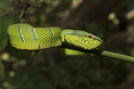 picture of green snake  - Waglers Pit Viper - JPG