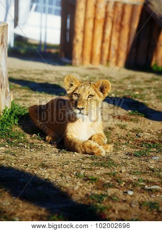 Little lion cub in nature. eye contact