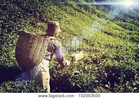 Farmer Picking Tea leaf Indigenous Culture Concept