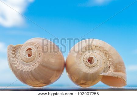 two nautilus shells on blue sky background