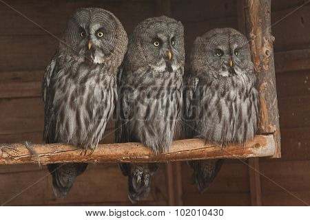 Three Great Grey owls