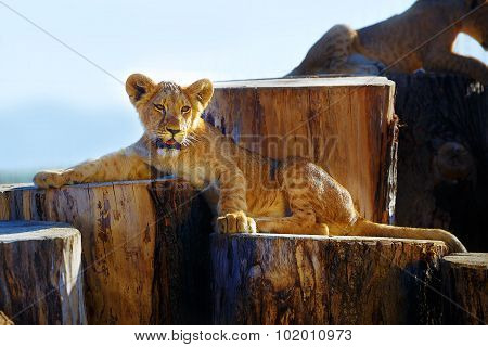two lion cubs cuddling in nature and wooden log .