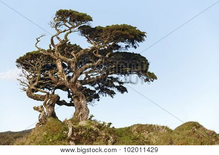 Lonely Cedrus Tree In A Pico Island Meadow. Azores. Portugal