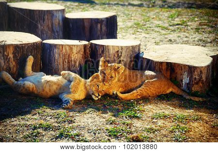 two lion cubs cuddling in nature