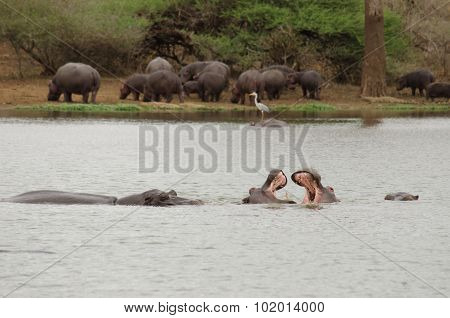 two hippo fighting