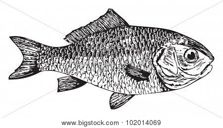 Vector traced illustration of an old engraving from Trousset 1886 - 1891 encyclopedia, of a Goldfish or Cyprinus auratus fish.