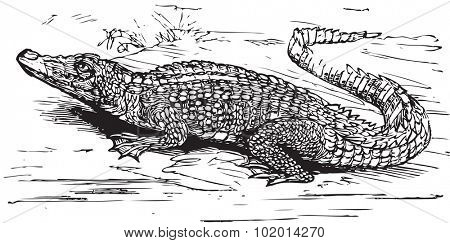 Engraving of a saltwater crocodile, in black lines. Crocodilus biporcatus, from Trousset encyclopedia 1886 - 1891