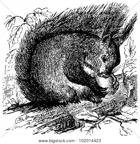 Old engraved illustration of a Red squirrel or Sciurus vulgaris, chewing on an acorn in the forest, isolated on white. Live traced.
