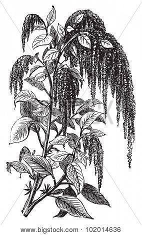 Foxtail amaranth, love-lies-bleeding, pendant amaranth, tassel flower, velvet flower, quelite or Amaranthus caudatus vintage engraving. Vector, isolated cut-out.