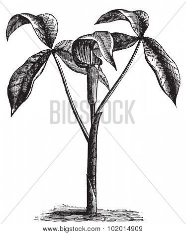 Arisaema triphyllum,  Jack-in-the-Pulpit, Bog onion, Brown dragon, Indian turnip, Wake robin or Wild turnip old engraving. Old engraved illustration, in vector, of a arisaema triphyllum plant