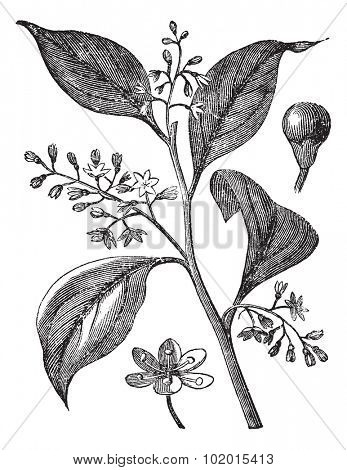 Camphrier officinal or Camphora officinarum or Medicinal plant vintage engraving. Old engraved illustration of camphor tree leaves and flowers.