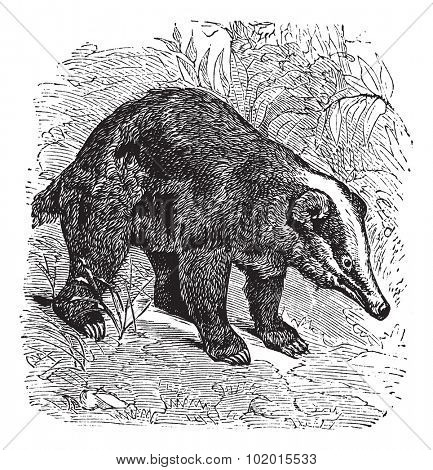 The Hog Badger, Arctonyx  or Arctonyx collaris. Vintage engraving. Old engraved illustration of a Hog Badger found in Southeast Asian tropical rainforests.