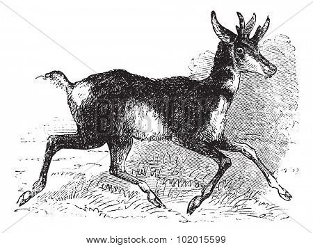 Antilocapra americana, prong buck or prong horn antelope, vintage engraving. Old engraved illustration of an American antelope on the run.