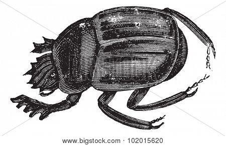 Scarab beetles, Scarabs, infraorder  Scarabaeiformia, or Ateuchus . Vintage engraving. Old engraved illustration of a Scarab beetles can be found worldwide.