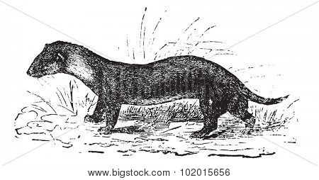 European, black or Forest polecat, also known as Mustela putorius, vintage engraved illustration of a European polecat.