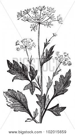 Anise or Anis or Aniseed or Pimpinella anisum vintage engraving.  Old engraved illustration of Anise seed