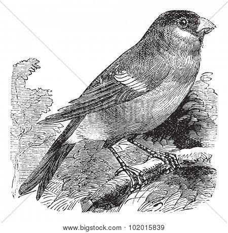 Eurasian Bullfinch also known as Pyrrhula pyrrhula, vintage engraved illustration of Eurasian Bullfinch, bird.