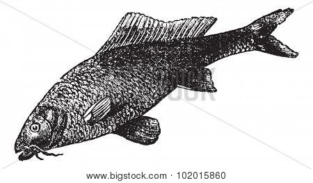 Cyprinus carpio or common carp or freshwater fish vintage engraving. Old engraved illustration of Cyprinus carpio.