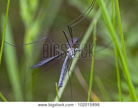 grass mosquito