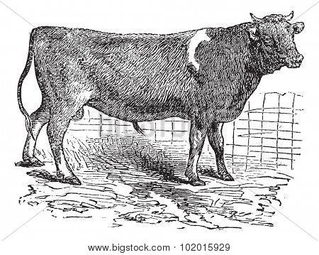 Alderney cattle, vintage engraved illustration of Alderney cattle.