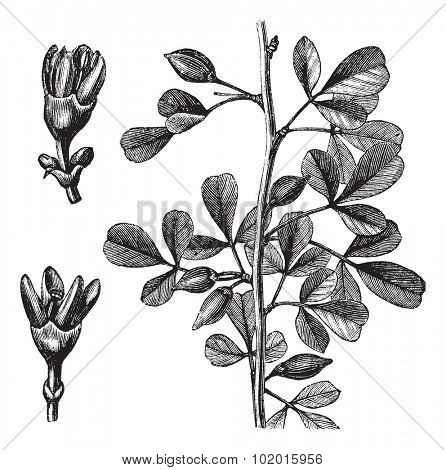 Myrrh, Balsamea or Balsamodendron ehrenbergianum, vintage engraving. Old engraved illustration of a Myrrh plant showing flowers (left).