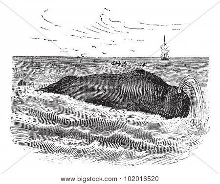 Sperm whale also known as Physeter macrocephalus, marine, mammal, vintage engraved illustration of Sperm whale, mammal. Trousset encyclopedia