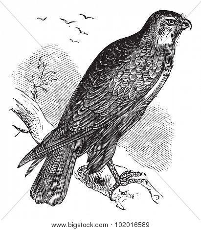 Buteo buteo known as Common Buzzard, raptor, vintage engraved illustration of Buteo buteo, raptor.  Trousset encyclopedia