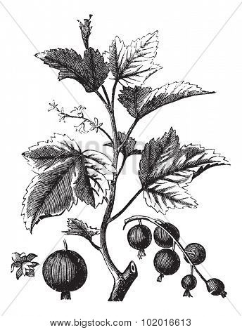 Ribes berry, cassis or blackcurrant or vintage engraving, Old engraved illustration of Ripes berry isolated against a white background. Trousset encyclopedia