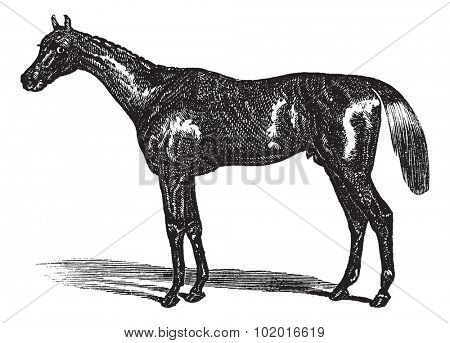 Thoroughbred or Equus ferus caballus horse, vintage engraving. Old engraved illustration of a Thoroughbred.