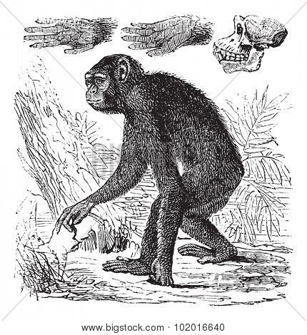 Chimpanzee or Pan troglodytes, vintage engraving. Old engraved illustration of a Chimpanzee. Trousset encyclopedia.