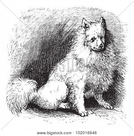 Husky or Canis lupus familiaris, vintage engraving. Old engraved illustration of Husky. Trousset encyclopedia.